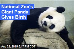 National Zoo's Giant Panda in Labor