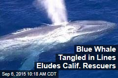 Blue Whale Tangled in Lines Eludes Calif. Rescuers
