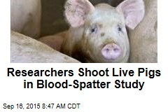 Researchers Shoot Live Pigs in Blood-Spatter Study
