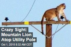 Crazy Sight: Mountain Lion Atop Utility Pole