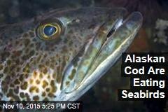 Alaskan Cod Are Eating Seabirds