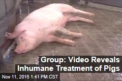 Undercover Video Reveals Inhumane Treatment of Pigs