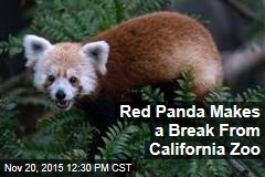 Red Panda Makes a Break From California Zoo