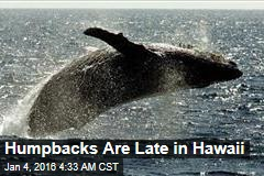 Humpbacks Are Late in Hawaii