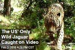 The US' Only Wild Jaguar Caught on Video