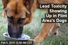 Lead Toxicity Showing Up in Flint Area's Dogs