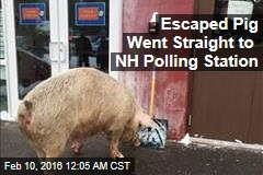 Escaped Pig Went Straight to NH Polling Station