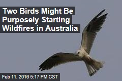 Two Birds Might Be Purposefully Starting Wildfires in Australia