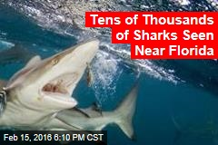Tens of Thousands of Sharks Seen Near Florida