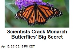 Scientists Crack Monarch Butterflies' Big Secret