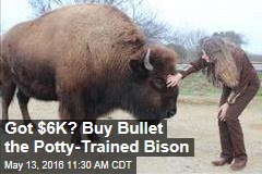 Got $6K? Buy Bullet the Potty-Trained Bison