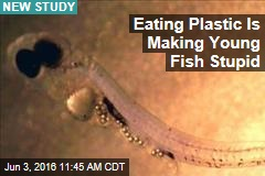Eating Plastic Is Making Young Fish Stupid