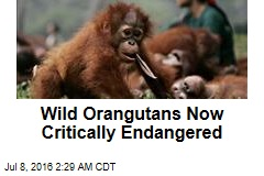 Wild Orangutans Now Critically Endangered