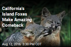 California's Island Foxes Make Amazing Comeback