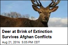 Deer at Brink of Extinction Survives Afghan Conflicts