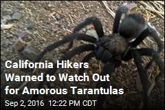 California Hikers Warned to Watch Out for Amorous Tarantulas