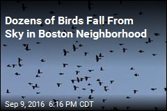 Dozens of Birds Fall From Sky in Boston Neighborhood