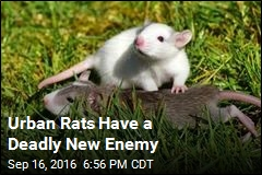 Urban Rats Have a Deadly New Enemy
