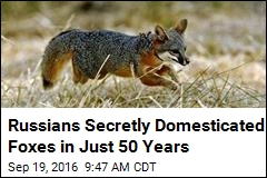 Russians Secretly Domesticated Foxes in Just 50 Years