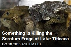 Something Is Killing the Scrotum Frogs of Lake Titicaca