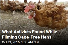 Video on Cage-Free Hens Is Horrifying: Activists