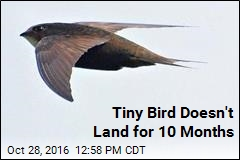 Tiny Bird Doesn't Land for 10 Months