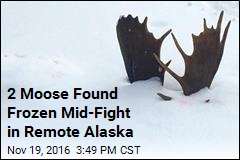 2 Moose Found Frozen Mid-Fight in Remote Alaska