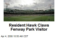 Resident Hawk Claws Fenway Park Visitor