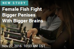 Female Fish Fight Bigger Penises With Bigger Brains
