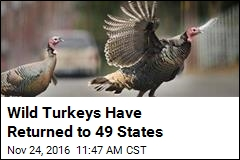 Wild Turkeys Are a Wildlife Restoration Success Story
