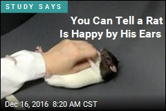 You Can Tell a Rat Is Happy by His Ears