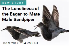 The Loneliness of the Eager-to-Mate Male Sandpiper
