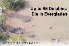 Dozens of 'False Killer Whales' Die in Florida Stranding