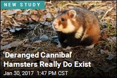 Corn-Eating Hamsters Cannibalize Their Young