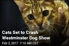 Cats Set to Crash Westminster Dog Show