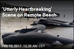 400 Whales Stranded on Remote Beach