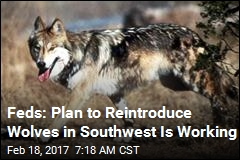 Feds: Mexican Wolves Bouncing Back in Southwest