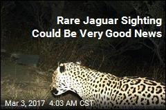 Rare Jaguar Sighting in Arizona Mountains