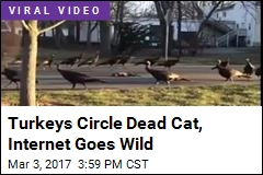 Turkeys Circle Dead Cat, Internet Goes Wild