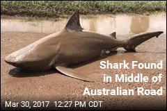 Odd Australian Roadblock: a Bull Shark