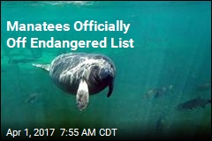 Manatees Officially Off Endangered List