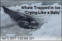 Whale Trapped in Ice 'Crying Like a Baby'
