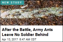 Army Ants Leave No Soldier Behind