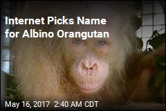 Internet Picks Name for Albino Orangutan