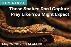 These Snakes Aren't 'Solitary' Hunters After All