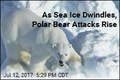 As Sea Ice Dwindles, Polar Bear Attacks Rise