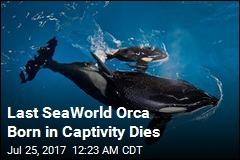 Last SeaWorld Orca Born in Captivity Dies