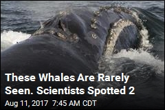 Scientists Studying Rare Whales Catch a Big Break