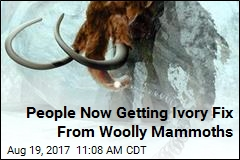 People Now Getting Ivory Fix From Woolly Mammoths