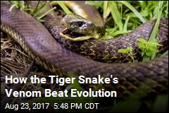How the Tiger Snake's Venom Beat Evolution